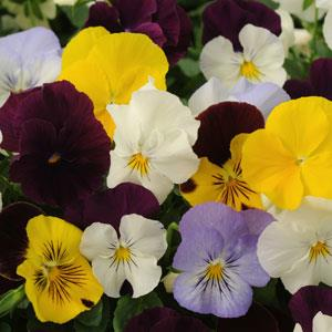 Cool Wave® Mixture Spreading Pansy