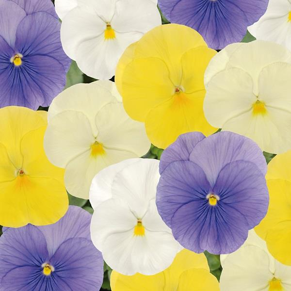 Pansy Matrix® Pastel Mix