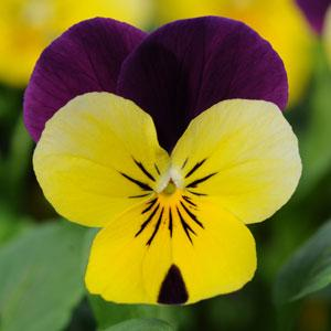 Sorbet® XP Yellow Jump Up Viola